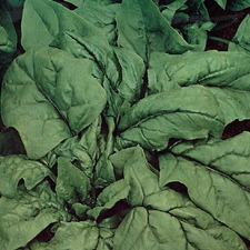 Spinach Gigante D'Inverno (Organic) SPGW