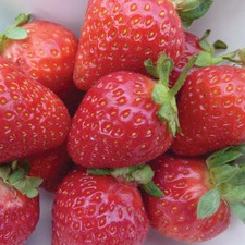 STRAWBERRY COLLECTION, 30 plants (organic) STCO