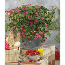 Strawberry Plant Collection (12) (Organic)