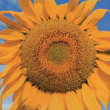 SUNFLOWER Tall Single  (organic)