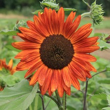SUNFLOWER Velvet Queen (organic)