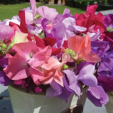 SEED COLLECTION 'Scented Sweet Peas' (non organic) FSPC