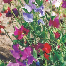 SWEET PEA Spencer (organic)