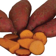SWEET POTATO Carolina Ruby, 10 slips (non organic) PNCR