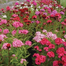 SWEET WILLIAM Double Mixed (organic)