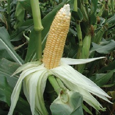 SWEETCORN GoldenBantam ORGANIC SAVER PACK