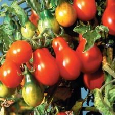 Tomato Seeds - Red Pear (Organic) TOPR