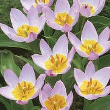 Tulip Bakeri Bulbs - Lilac Wonder (5)