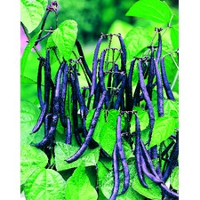 Dwarf French Bean Seeds - Purple Teepee