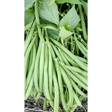 Bean Dwarf French Seed - Domino (Organic)