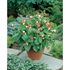 Bean (Runner) Plants - Hestia (5 Plugs) ORGANIC