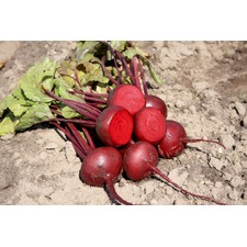 BEETROOT  Egyptian Turnip Rooted (organic)