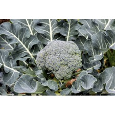 Broccoli Calabrese Plants - Green Sprouting (10 Super Plugs) (Organic)