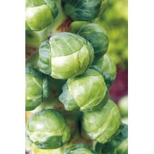 BRUSSELS SPROUT Igor F1 (organic)