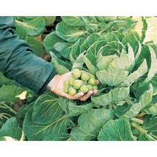 BRUSSELS SPROUT Nautic F1 (organic)