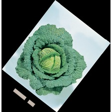 Cabbage Savoy Plants -  Vertus (10 Super Plugs) ORGANIC