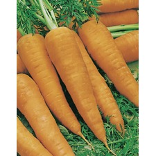 CARROT Autumn King (organic) CRAU