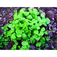 Claytonia 'Winter Purslane' (organic) CLAY