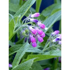 Comfrey Plants - 5 Bare Root Plants
