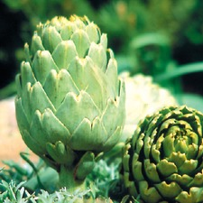 Artichoke Plants - Green Globe, 5 Super Plugs (ORGANIC) VARG