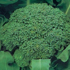 CALABRESE Green Sprouting, 10 plants (organic) VCAG