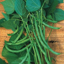 CLIMBING FRENCH BEAN Blue Lake, 10 plants (organic) VBCL