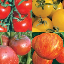 COLOURFUL TOMATO COLLECTION, 12 plants (organic) VTOC