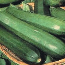 COURGETTE Green Bush, 5 plants (organic) VCOG
