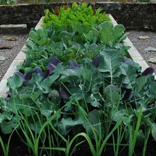 Autumn Planting HEALTHY GREENS COLLECTION, 45 plants (organic) VPCB1