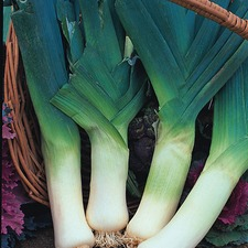 LEEK Giant Winter, 20 plants (organic) VLKG