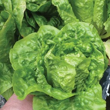 LETTUCE Little Gem, 10 plants (organic) VLEG