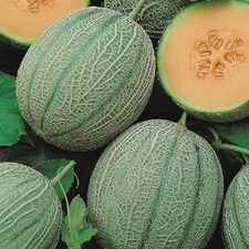 MELON Blenheim Orange, 5 plants (organic) VMEB