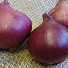 ONION Red Baron, 20 plants (organic) VONR