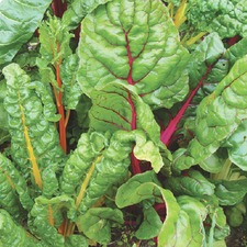 Autumn Planting RAINBOW CHARD Bright Lights, 10 plants (organic) VBLB