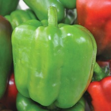 SWEET PEPPER Californian Wonder, 3 plants (organic) VPEC