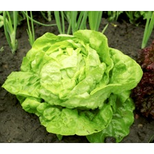 Lettuce Seeds - All the Year Round (Non Organic) 436478