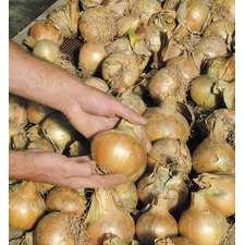 Onion Seeds - Bedfordshire Champion Triple Pack (Non Organic) 437600