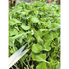 Pea Shoots Seeds - Twinkle (Non Organic) 430213