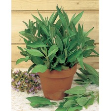 Herb Plants - Sage Common Broadleaf (3 Potted Plants) ORGANIC