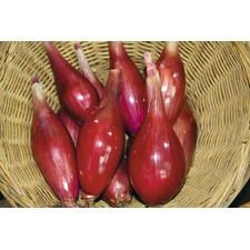 ONION Long Red Florence (organic) ONLG