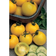 Tomato Plants - Golden Sunrise ORGANIC