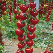 TOMATO GRAFTED SWEET PETIT