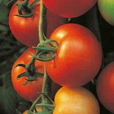 TOMATO GRAFTED SHIRLEY