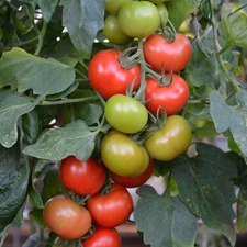 TOMATO GRAFTED CRIMSON CRUSH