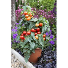Tomato Grafted Plants - Summerlast F1 (3) (Organic) 250558