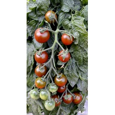 Grafted Tomato Plants - Ruby Falls (3 Super Plugs) (Organic)