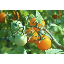 Tomato Grafted Plants - Honeycomb (3) (Organic)