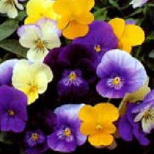 VIOLA Large Flowered Mixed (non organic)