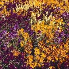 WALLFLOWER Persian Carpet Mix (non organic)