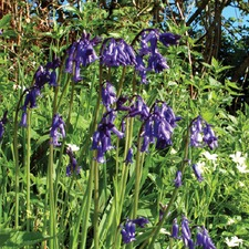 WILD FLOWER Bluebell, 20 bulbs (non organic) BUBL